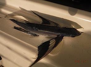 les poissons volant recueillis le matin