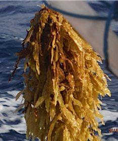 et voilà la pêche du jour, que des algues !