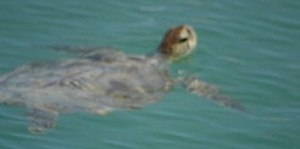 TORTUE COUANNE