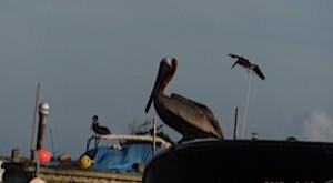 Les pélicans sont en pêche permanente de poissons , il partent en piqué