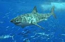 des requins citron mais pas encore adulte parmi nous