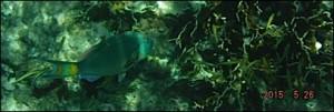 poisson perroquet vu de coté
