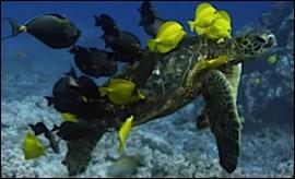 tortue en compagnie de bébé poisson chirurgiens qui deviendront bleu en grandissant